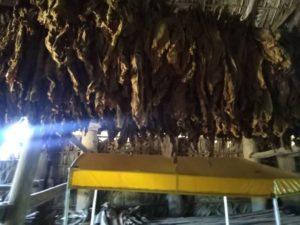 Uprawa tytoniu Vinales Kuba